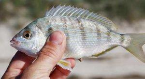 best pinfish trap
